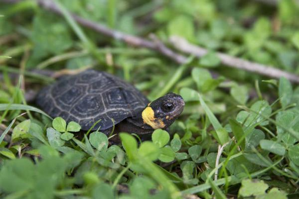 Photo of a bog turtle within clover and grass field