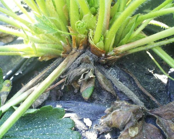 Botrytis crown rot in field
