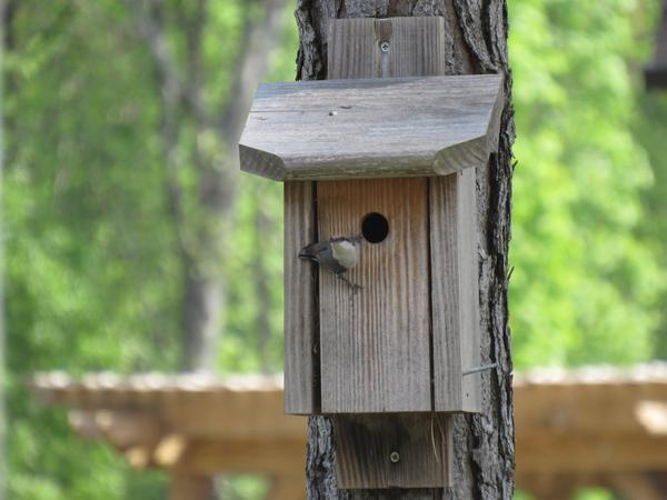 Photo of brown-headed nuthatch using a nest box