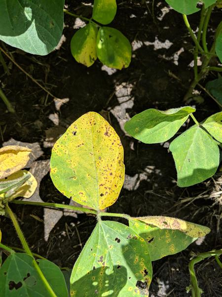 Thumbnail image for Brown Spot of Soybean