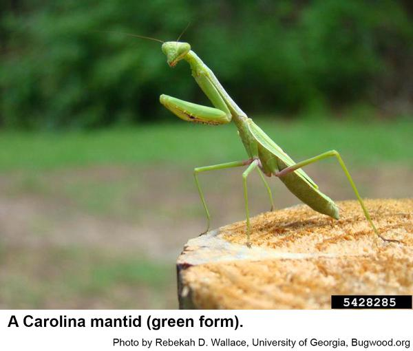 Carolina Mantid Nc State Extension Publications