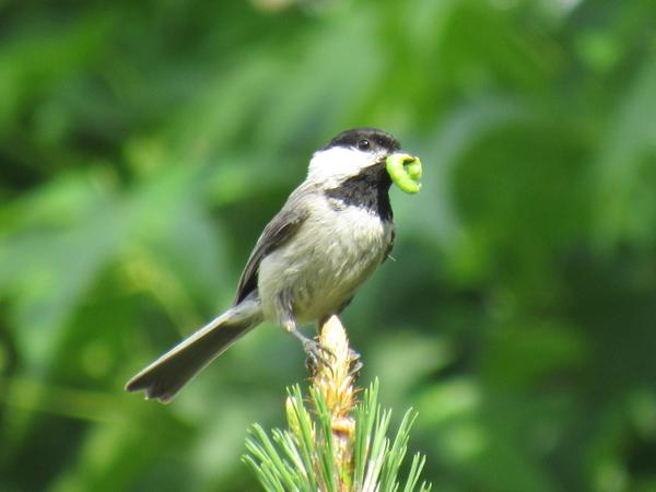 Photo of Carolina chickadee bringing worm to nestlings