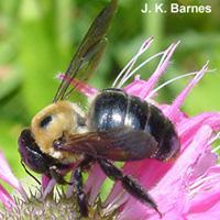 Figure 1. Carpenter bee on a flower.