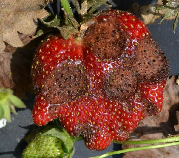 Anthracnose Fruit Rot Of Strawberry on Pre Plant Life Cycle