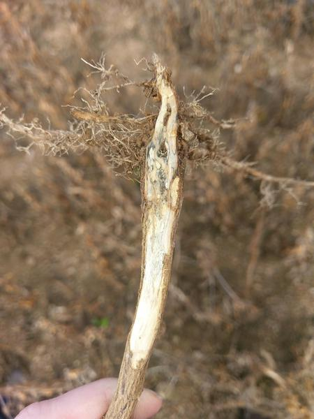 Thumbnail image for Soybean Charcoal Rot