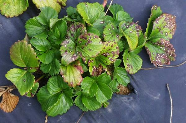 Thumbnail image for Common Leafspot of Strawberry