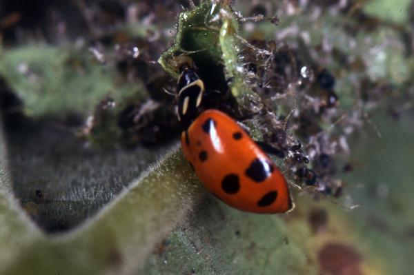 Thumbnail image for Lady Beetles in the Landscape