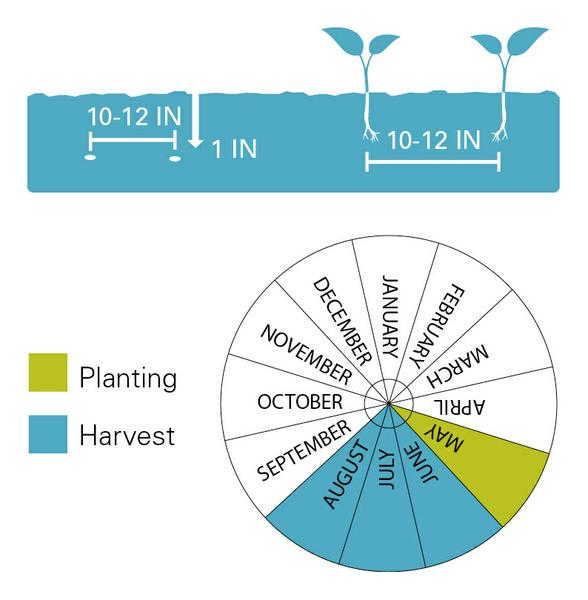 Cucumbers planting and harvest dates.