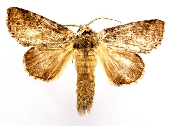 Figure 2. Cutworm adult (dorsal).