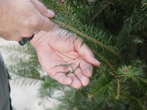 Hand holding needles that fell off a Christmas tree branch