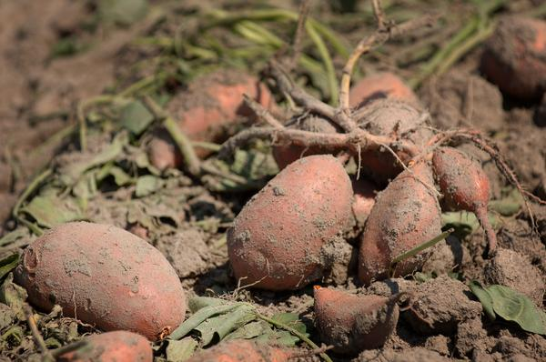 Sweetpotatoes still in the ground.