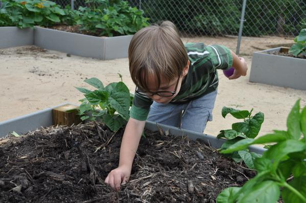 Photo: A child pushing a seed into the soil of a raised planter.