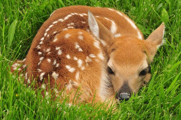 Image of a fawn resting in light cover