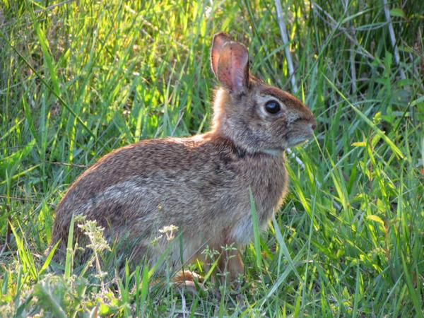 Image of bunny in field