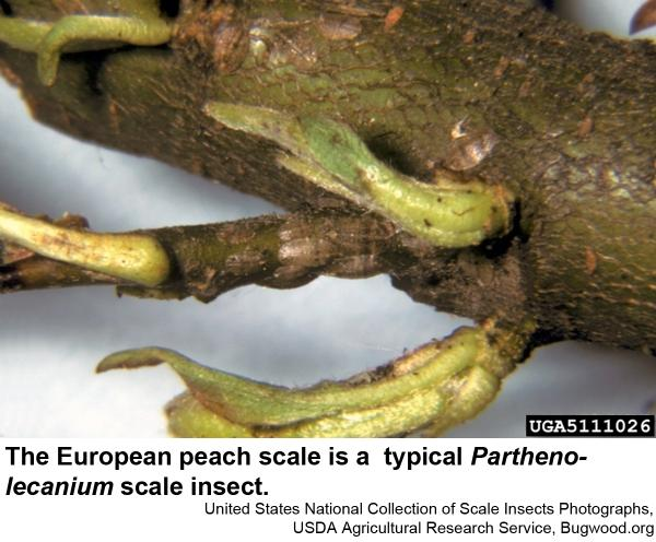 European peach scale
