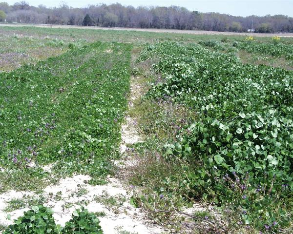 Cover crops planted late vs. planted as recommended.