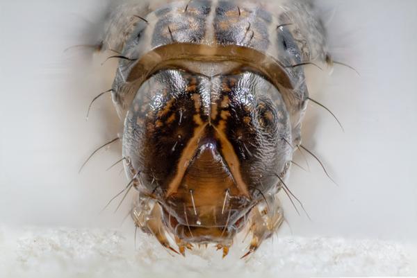 Figure 2. Fall armyworm head capsule.