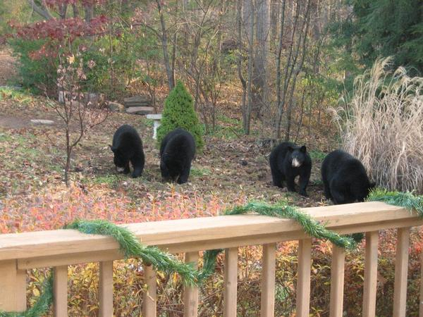 Photo of black bears in a suburnban backyard setting.
