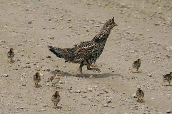 Photo of female grouse with  six chicks by her side