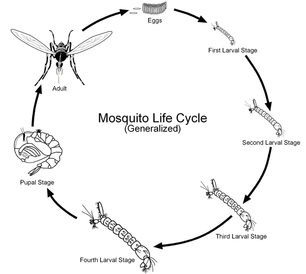 Seven life stages including eggs, larval (4), pupa and adult