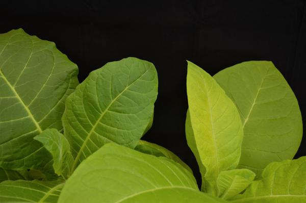 Thumbnail image for Tobacco - Manganese (Mn) Deficiency