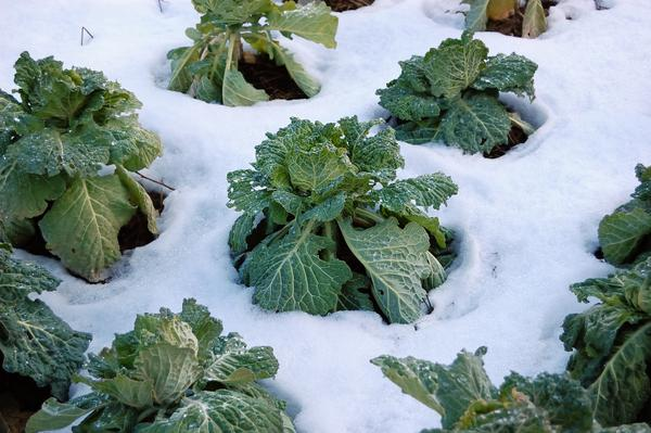 Figure 1. Cool-season vegetables can tolerate colder temperature