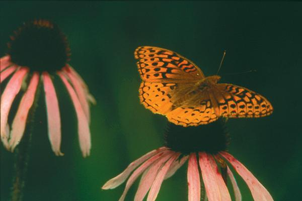 Figure 1. Great Spangled Fritillary