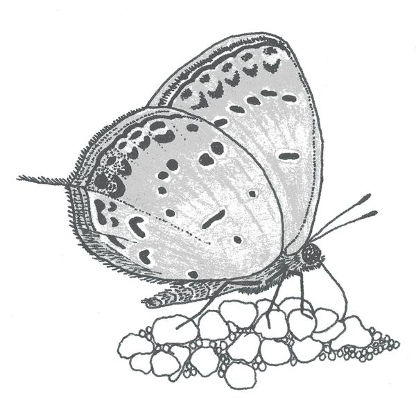 Figure 4. Eastern Tailed-Blue.