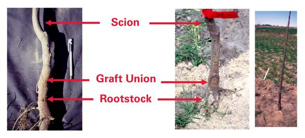 Figure 6. Grafted tree after planting.