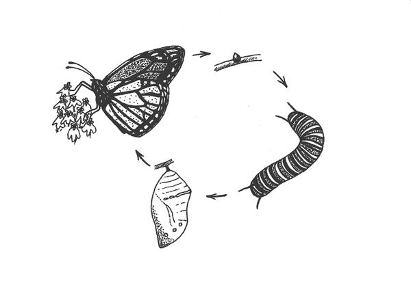 Figure 7. Metamorphosis stages of the Monarch.