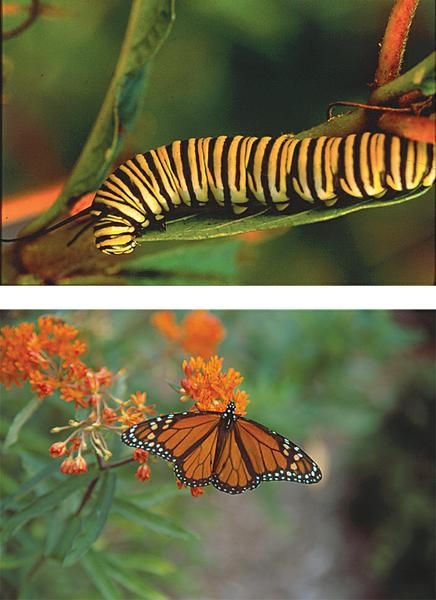 Figure 8. Monarch feeds (top) before turning into an adult (bot)