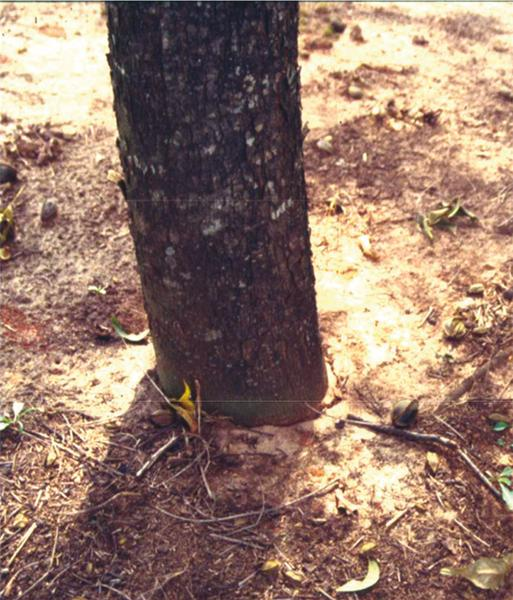 Figure 8. A tree that is planted too deeply does not form a root