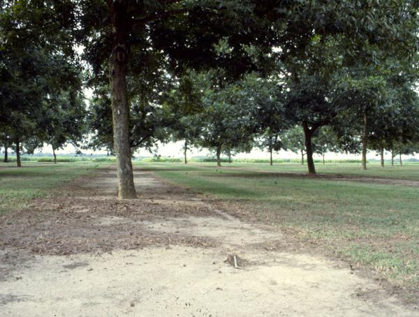Figure 8. An example of vegetative free strip in a pecan orchard