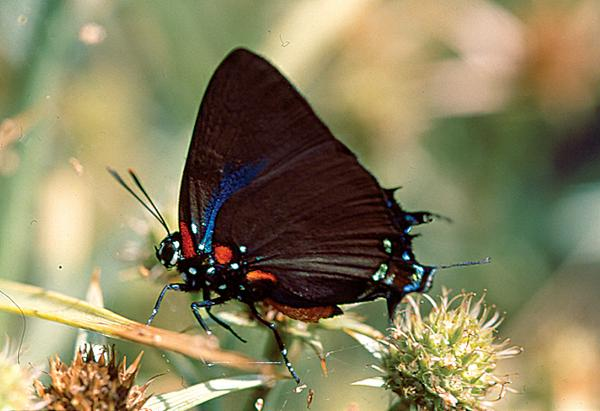 Figure 9. The Great Purple Hairstreak