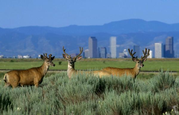 A photo of deer in a field with a city skyline in the background
