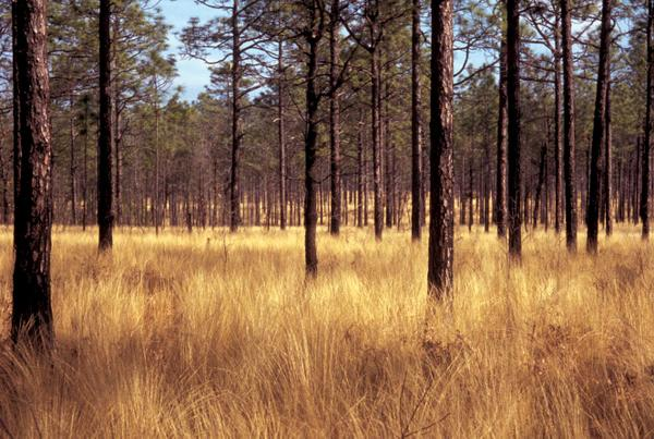 Image result for south carolina pine barrens