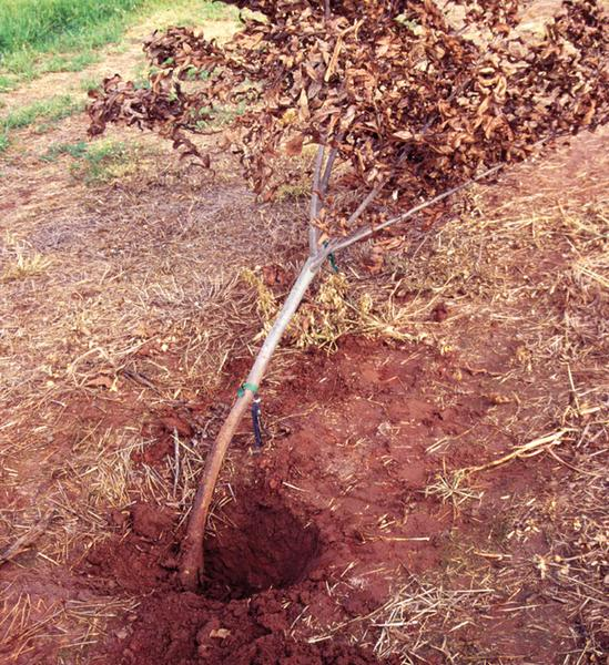 Fig 10. This tree was planted too deeply, did not form a root fl