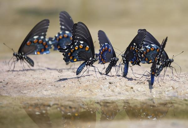 "Figure 10. Pipevine Swallowtails gather at ""puddling"""