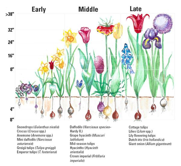 10 Bulb Garden Design Ideas: Flower Bulb Identification Chart