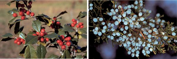 Figure 10. American holly (left), eastern redcedar (right)
