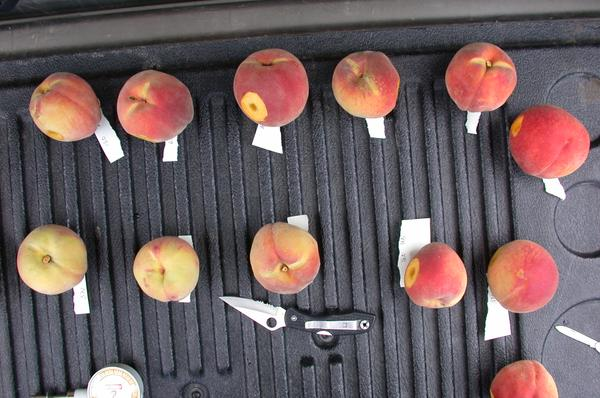 Figure 11. Peaches at various stages of ground color development