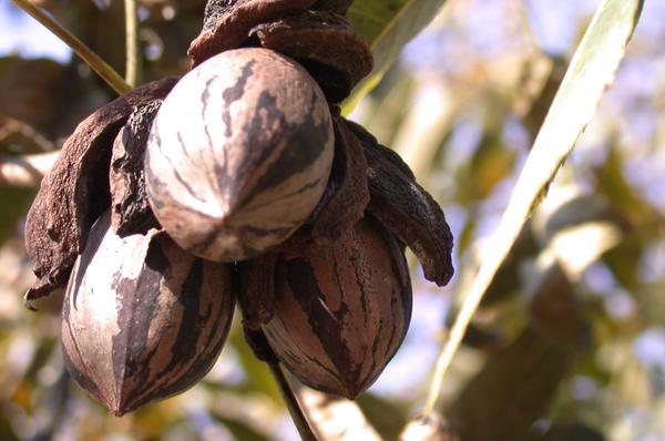 Figure 12. Open shuck of pecan crop ready for harvest.