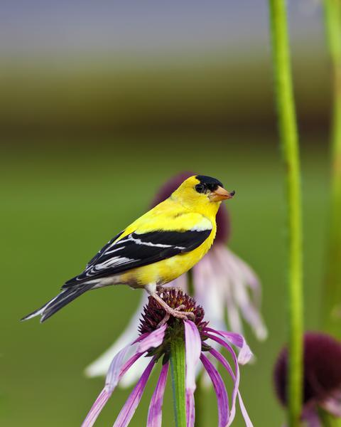 Figure 12. You'll have to compete with American goldfinches for