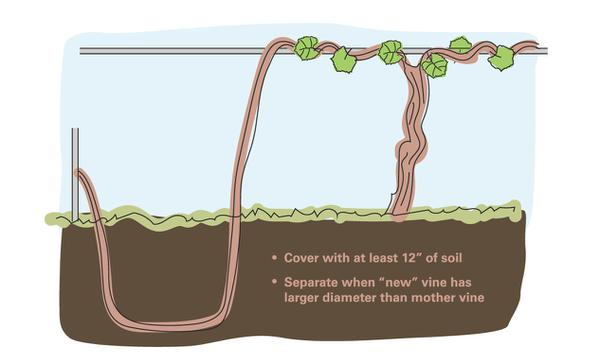 Fig 13. Bend a grape shoot to the ground and cover it with soil