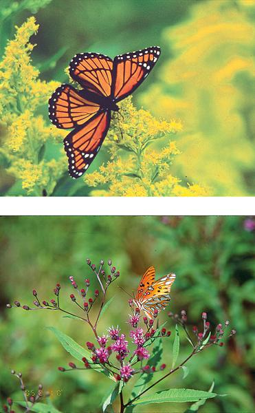Figure 13. Goldenrod (top) and ironweed (bot) provide nectar