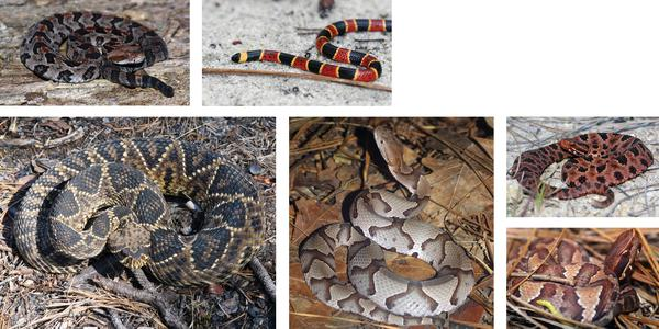 Figure 14. North Carolina's six native venomous snake species.