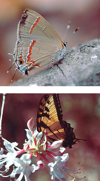 Fig 14. Red-banded Hairstreak (top) and Eastern Tiger Swallowtai