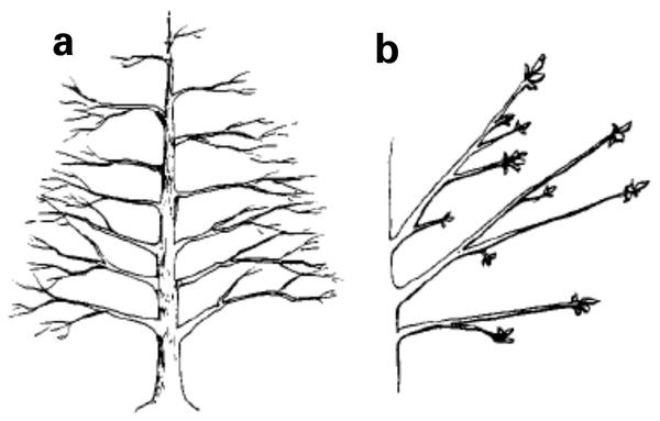 Figure 16a. Optimally trained central leader tree. b. Pecan tree
