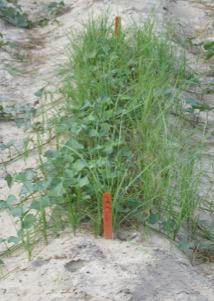 Figure 1. Yellow nutsedge in sweetpotato.