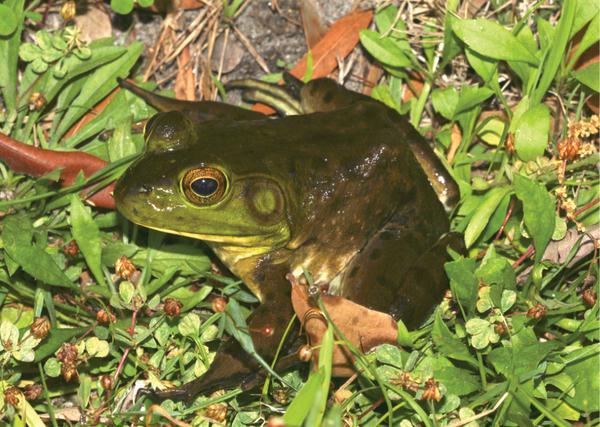 Figure 1. The American bullfrog